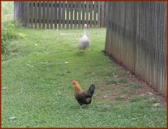 Freed Fowl — © 2008 America InContext