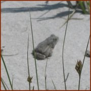 Sand Toad — © 2008 America InContext