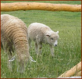 Sheep In Pen — © 2008 America In Context