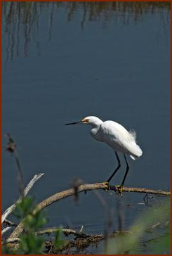 Egret -- Public domain photo courtesy of Kennedy Space Center