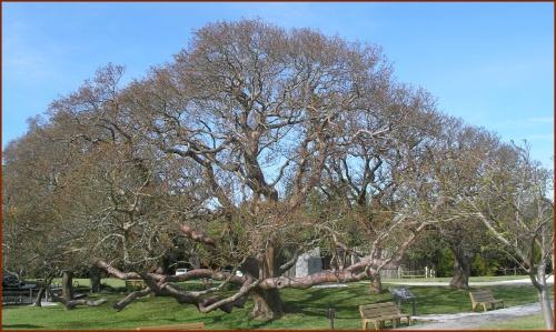 Gumbo-Limbo Tree in Spring