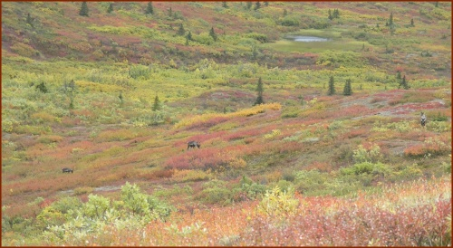 Caribou on Tundra © 2009 America in Context
